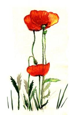 Obraz mák akvarel