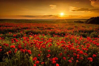 Obraz Maková pole při západu slunce