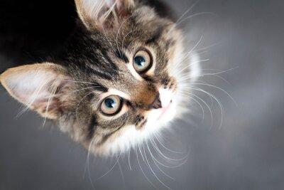 Obraz malé načechraný kotě na šedém pozadí