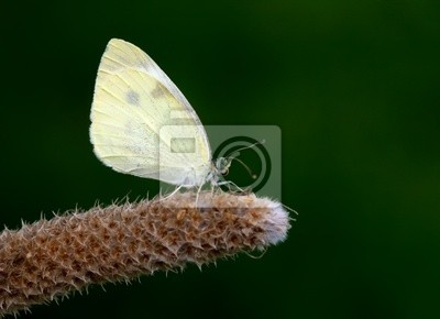Obraz Mariposa blanca