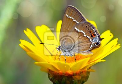 Obraz Mariposa comiendo en la flor