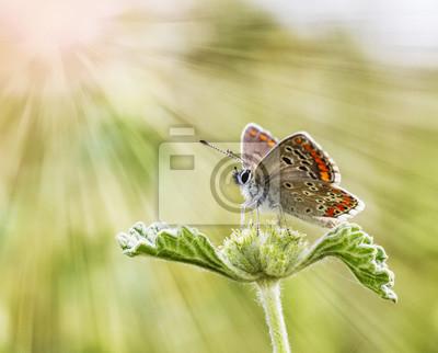 Obraz mariposa en La Flor