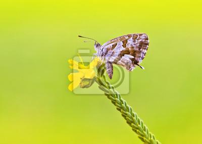 Obraz mariposa en su flor