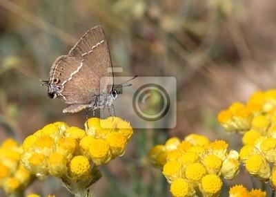 Obraz Mariposa y Flores