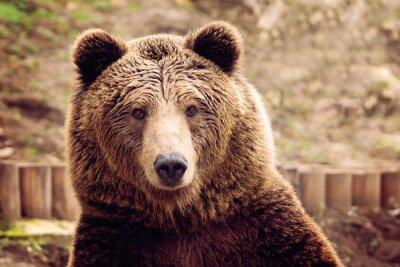 Obraz Medvěd