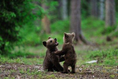 Obraz Medvěd hnědý mláďata hrají v lese