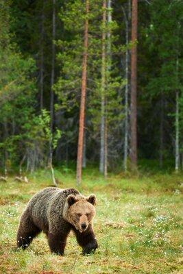 Obraz Medvěd hnědý v lese