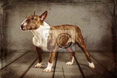 Obraz Miniaturní Bull Terrier
