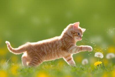 Obraz Mladá kočka si hraje s pampeliška / Dandelion