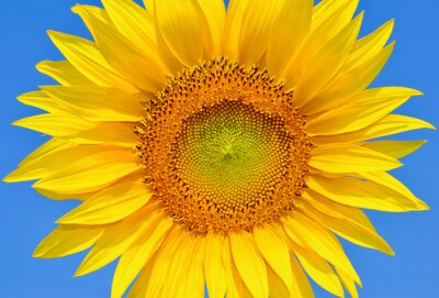 Obraz Mladí slunečnice kvetou v poli proti modré obloze