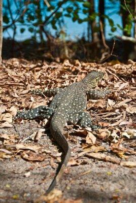 Obraz Monitor Lizard v Whitsundays
