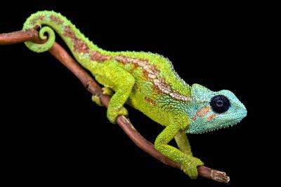 Obraz Mount Hanang Chameleon (Trioceros hanangensis)