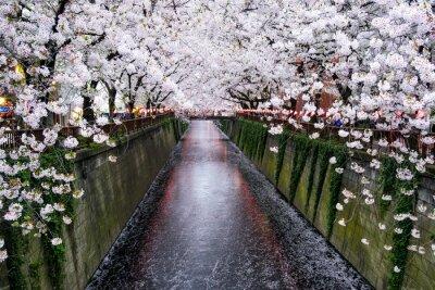 Obraz Nakameguro Kanal v Tokiu während der Kirschblüte im Frühling
