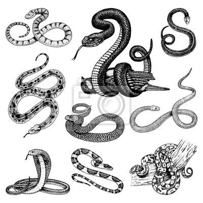 Nastavte Viper Snake Hadi Kobra A Python Anakonda Nebo Viper