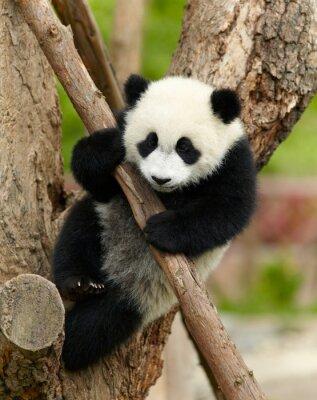 Obraz Obří panda dítě po stromu