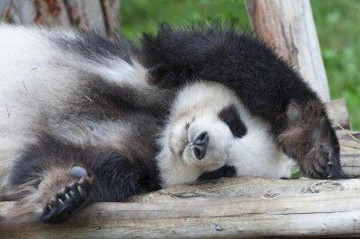 Obraz Obří panda spí