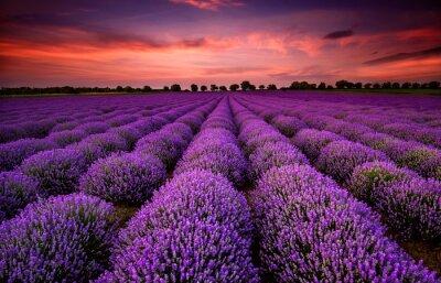 Obraz Ohromující krajina s levandulí pole při západu slunce