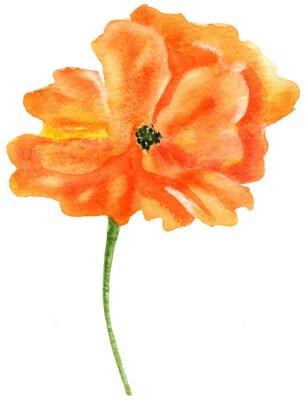 Obraz Orange mák. Akvarelu, na bílém pozadí