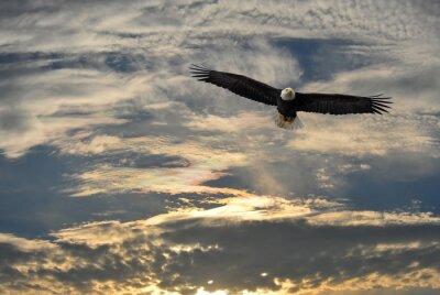 Obraz Orel bělohlavý létání nad Aljaškou