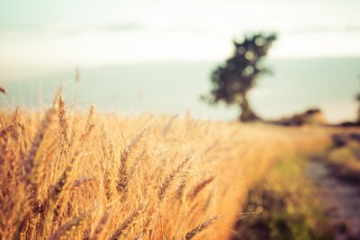 Obraz Paesaggio di Campagna e Campi di grano al tramonto