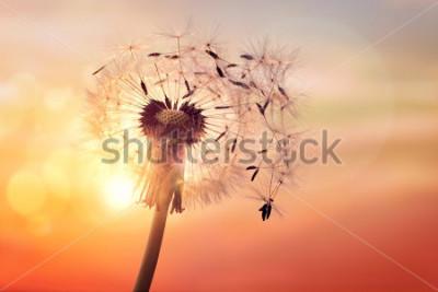 Obraz Pampeliška silueta proti západu slunce s semena ve větru