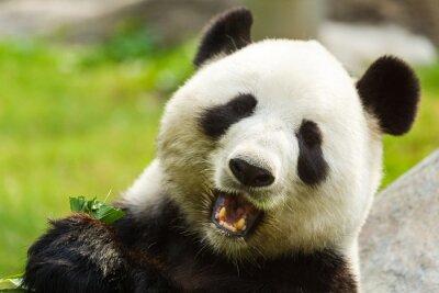 Obraz Panda bear eating bamboo