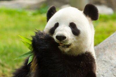 Obraz Panda bear jíst bambus