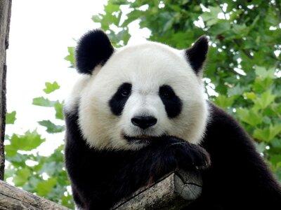 Obraz Panda Géant 7