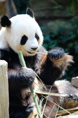Obraz Panda jíst bambus