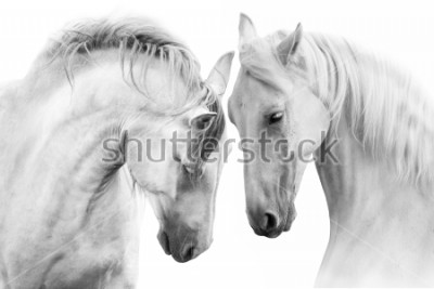 Obraz Pár krásných bílých koní izolovaných na bílém pozadí. Vysoký obraz klíče