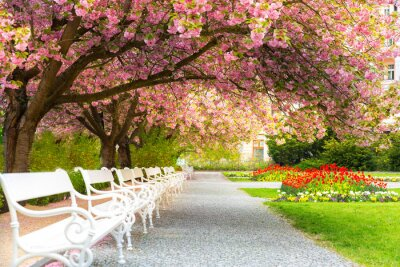 Obraz Park with blossom sakura, flower lawn and benches