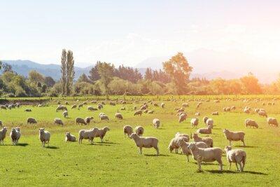 Obraz pastviny se zvířaty v létě slunečný den na Novém Zélandu
