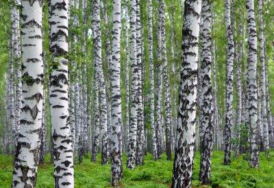 Obraz pěkné letní březového lesa
