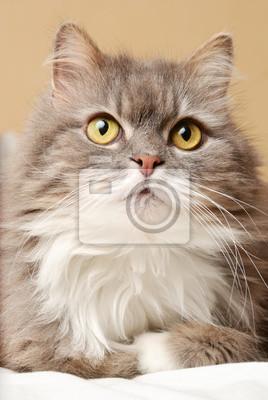 perská kočka na lůžku