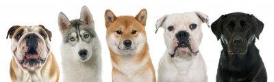 Obraz pět čistokrevných psů