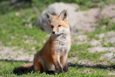 Obraz petit renard roux