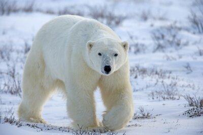Obraz Polar Bear