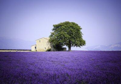 Obraz Pole kvetoucí květy levandule s starém statku - Provence, Francie