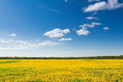 Obraz Pole žluté pampelišky proti modré obloze.