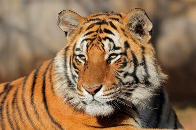 Obraz Portrét bengálský tygr (Panthera tigris bengalensis).