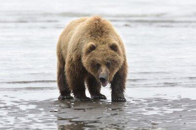 Obraz Portrét divoké bez roamingu medvěda hnědého