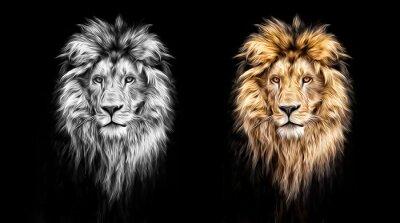 Obraz Portrét krásné lva, lva ve tmě, olejovými barvami