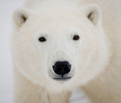 Obraz Portrét ledního medvěda. Close-up. Kanada. Vynikající ukázkou.