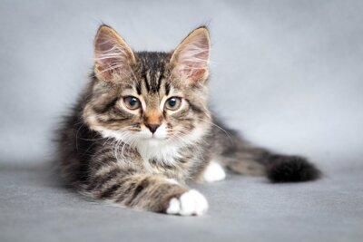 Obraz Portrét ležící kočky