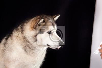 Portrét plemene psů alaskan malamute pohledu na zacházet obrazy na ... e6ab277ca8