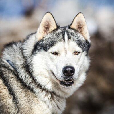 Obraz Portrét psích spřežení, Husky pes