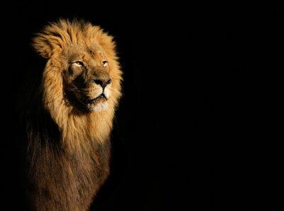 Obraz Portrét velké mužské africký lev (Panthera leo) na černém pozadí, Jižní Afrika.