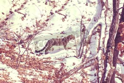 Obraz přímořské Leopard, agresivní zvíře chodí na zasněžené zemi, velké krásné pruhované Leopard. Zimní