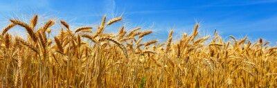 Obraz Pšenice