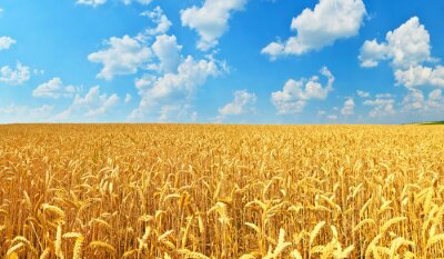 Obraz Pšeničné pole